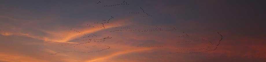 Vogelflugformationen im roten Abendhimmel nahe Kosel