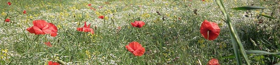 Herrliche rote Mohnblumen auf einem verblühtem Rapsfeld