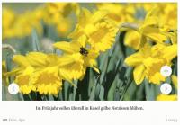 Kosel pflanzt Narzissen - Ein Dorf soll gelber werden